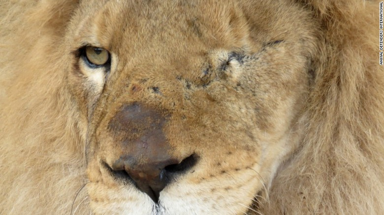 33 rescued circus lions