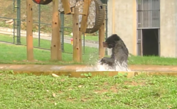 bear jumping rescue cute